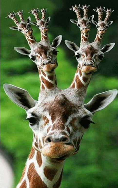image drole girafe